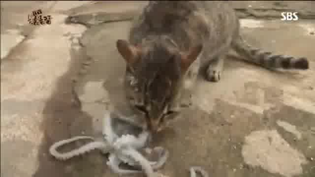 This Cat Chose Octopus For Lunch Then Watch What Happened!